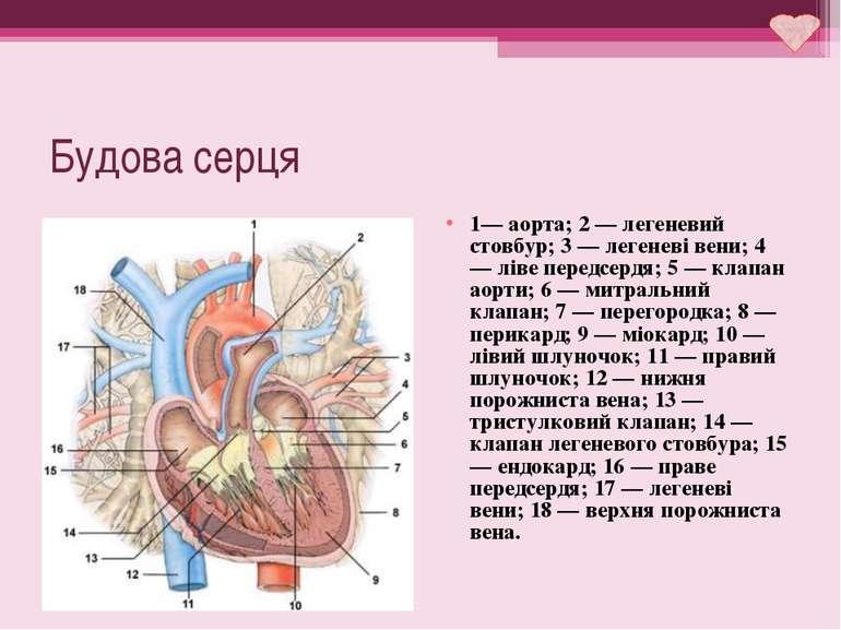 Будова серця 1— аорта; 2 — легеневий стовбур; 3 — легеневі вени; 4 — ліве пер...