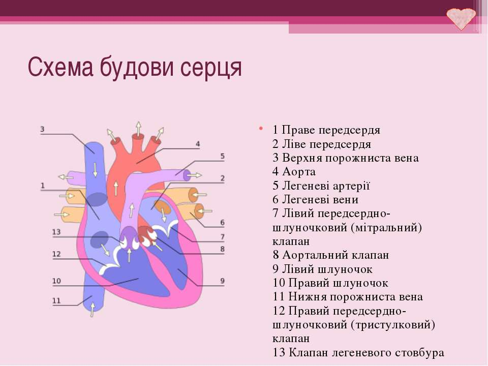 Схема будови серця 1 Праве передсердя 2 Ліве передсердя 3 Верхня порожниста в...
