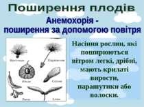 Насіння рослин, які поширюються вітром легкі, дрібні, мають крилаті вирости, ...