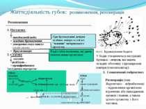 Життєдіяльність губок: розмноження, регенерація Розмноження 1. Нестатеве • по...