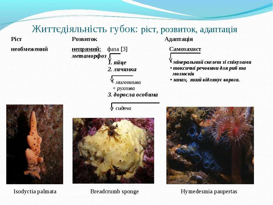 Життєдіяльність губок: ріст, розвиток, адаптація Isodyctia palmata Hymedesmia...