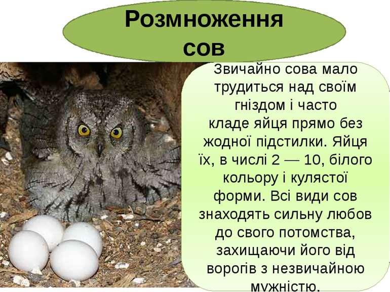 Розмноження сов Звичайно сова мало трудиться над своїм гніздом і часто кладе...