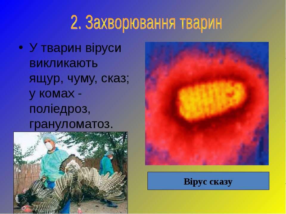 У тварин віруси викликають ящур, чуму, сказ; у комах - поліедроз, грануломато...