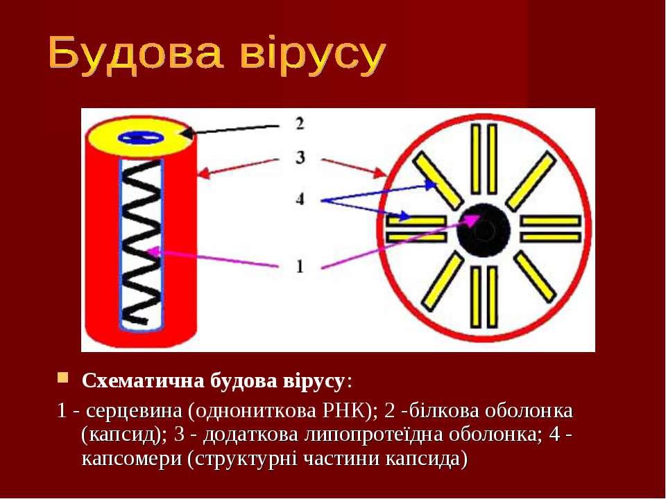 Схематична будова вірусу: 1 - серцевина (однониткова РНК); 2 -білкова оболонк...