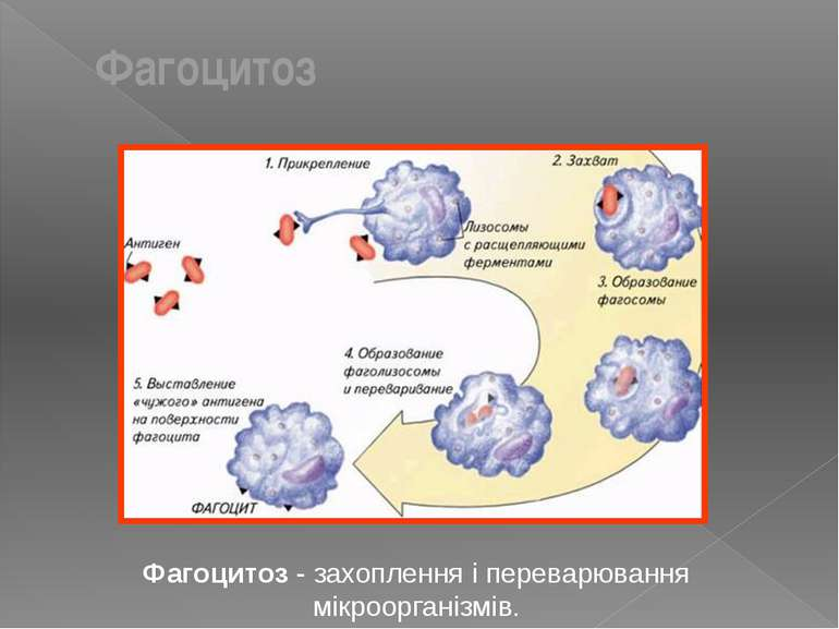 Фагоцитоз - захоплення і переварювання мікроорганізмів. Фагоцитоз