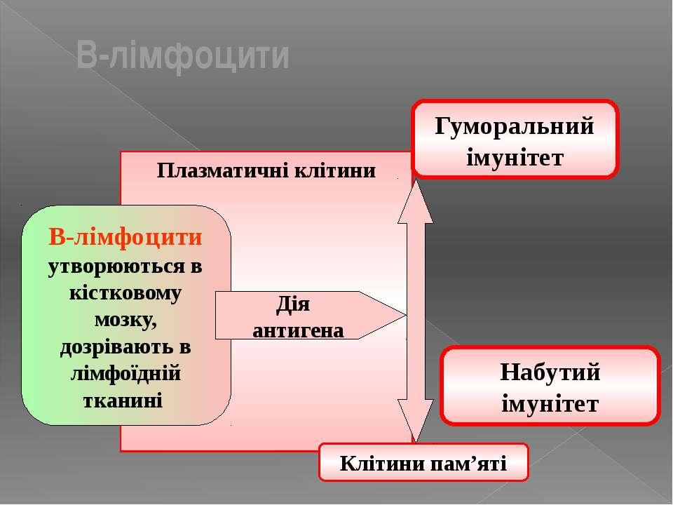 Плазматичні клітини Гуморальний імунітет В-лімфоцити утворюються в кістковому...