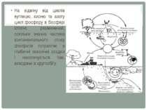 На відміну від циклів вуглецю, кисню та азоту цикл фосфору в біосфері істотно...
