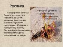Росянка На торф'яних болотах Європи зустрічається невелика, до 20 см заввишки...