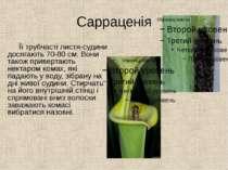 Сарраценія Її трубчасті листя-судини досягають 70-80 см. Вони також привертаю...