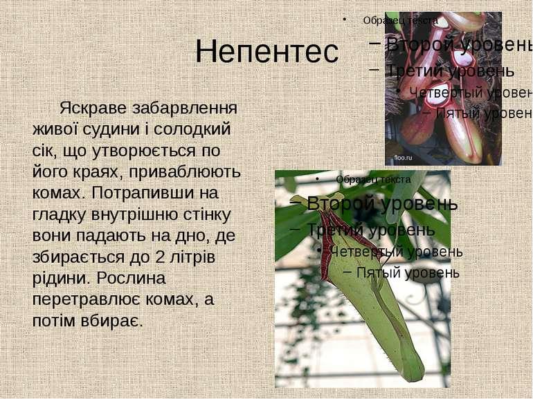 Непентес Яскраве забарвлення живої судини і солодкий сік, що утворюється по й...