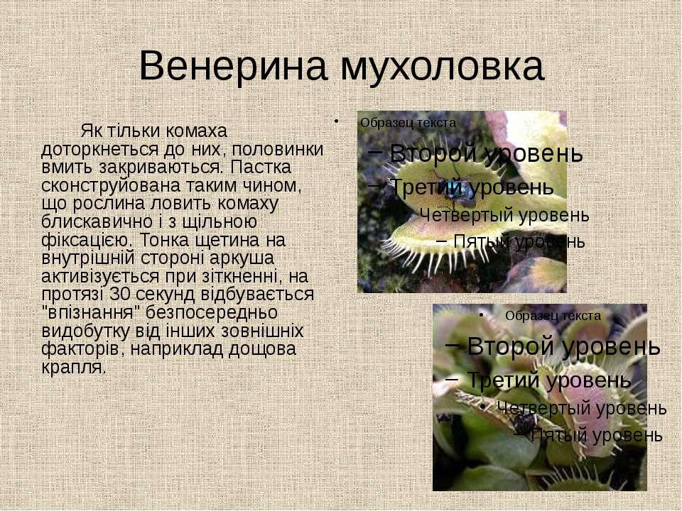 Венерина мухоловка Як тільки комаха доторкнеться до них, половинки вмить закр...