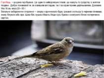 Горобець —родина горобцевих. Це один із найвідоміших птахів, що живуть по сус...