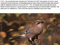 """Сойка - птах родини воронових, відіграє роль """"поліцейського лісів"""": вона завж..."""