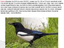 Сорока.Довжина тіла 45-50 см, маса 150-250 г, розмах крил 55—58 см. В Україні...