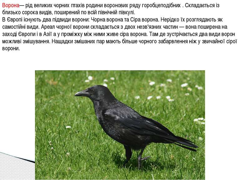 Ворона— рід великих чорних птахів родини воронових ряду горобцеподібних . Скл...