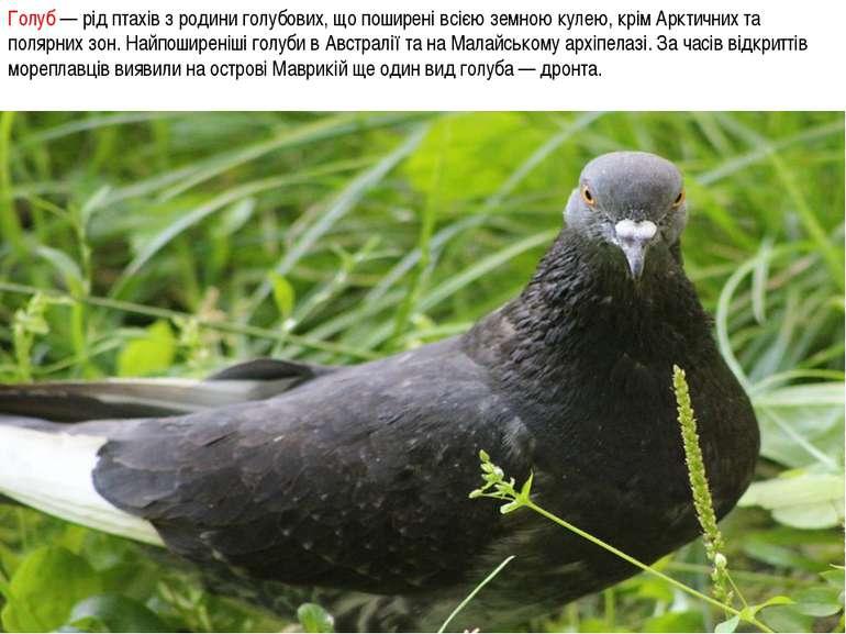 Голуб — рід птахів з родини голубових, що поширені всією земною кулею, крім А...
