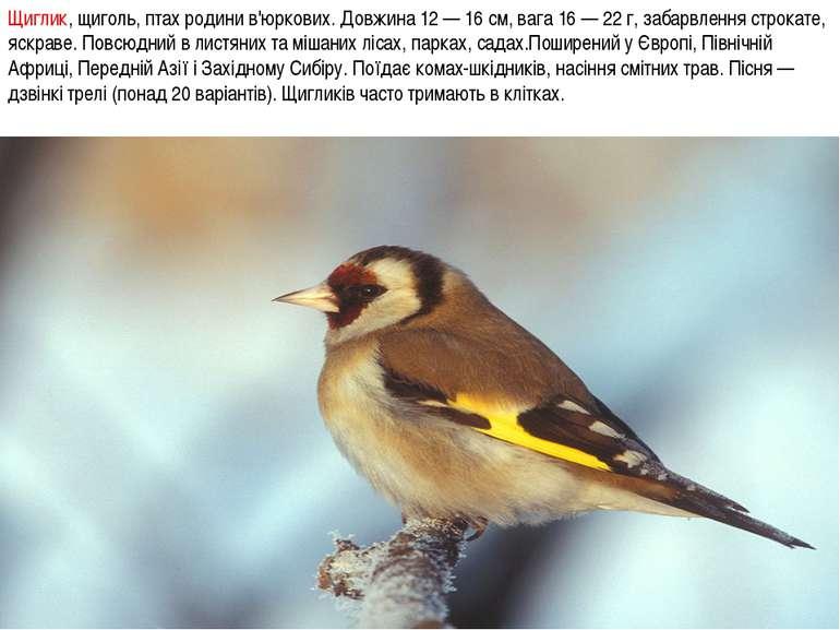 Щиглик, щиголь, птах родини в'юркових. Довжина 12 — 16 см, вага 16 — 22 г, за...