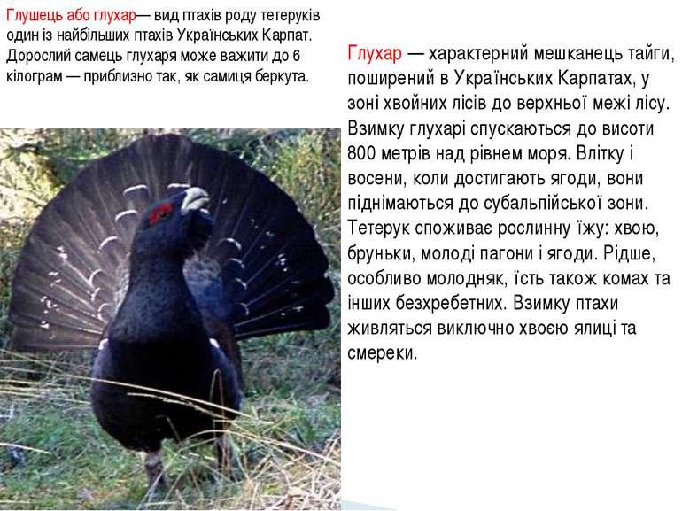 Глухар — характерний мешканець тайги, поширений в Українських Карпатах, у зон...