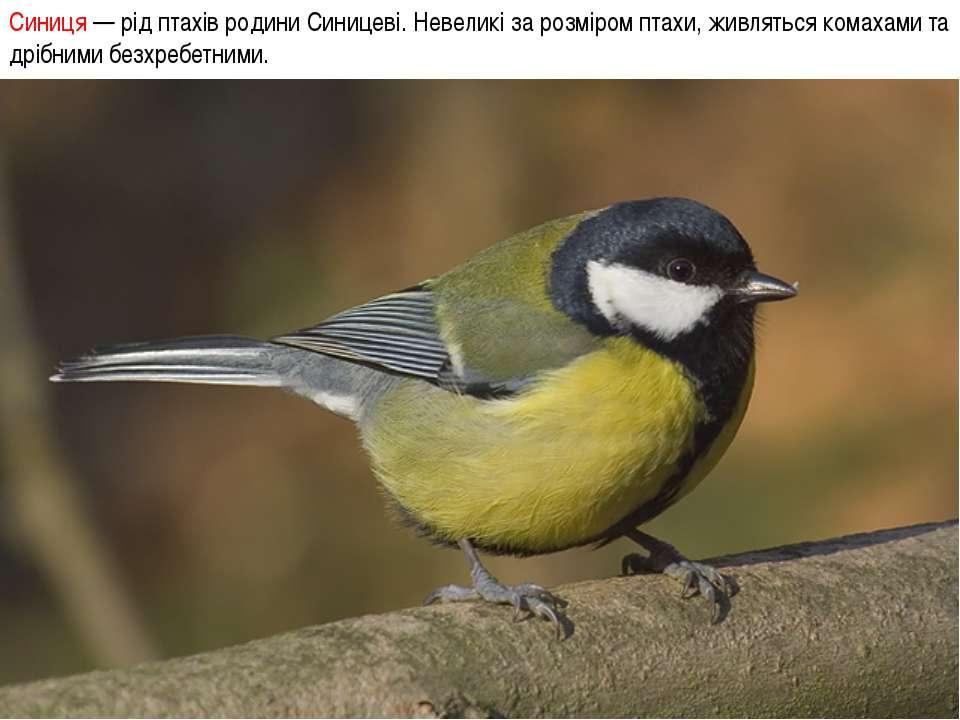 Синиця — рід птахів родини Синицеві. Невеликі за розміром птахи, живляться ко...