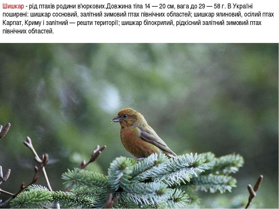Шишкар - рід птахів родини в'юркових.Довжина тіла 14 — 20 см, вага до 29 — 58...