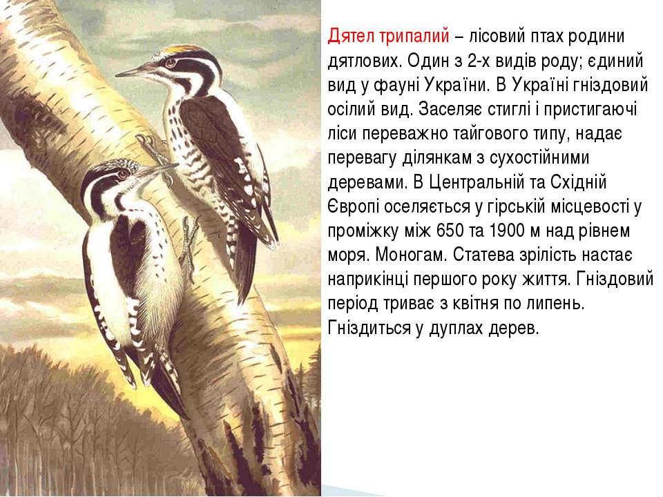 Дятел трипалий − лісовий птах родини дятлових. Один з 2-х видів роду; єдиний ...