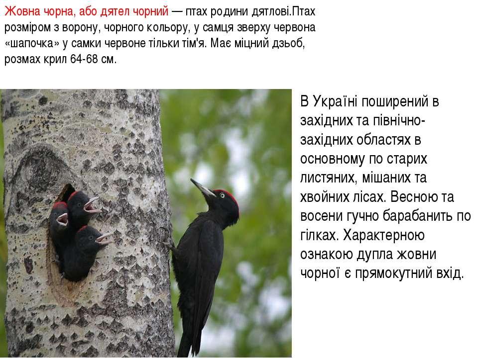 Жовна чорна, або дятел чорний — птах родини дятлові.Птах розміром з ворону, ч...
