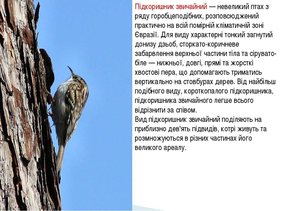 Підкоришник звичайний — невеликий птах з ряду горобцеподібних, розповсюджений...