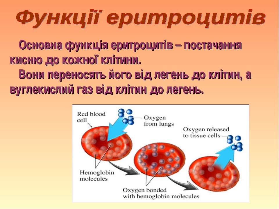 Основна функція еритроцитів – постачання кисню до кожної клітини. Вони перено...