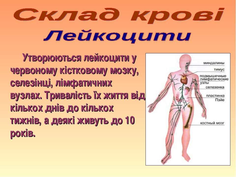 Утворюються лейкоцити у червоному кістковому мозку, селезінці, лімфатичних ву...