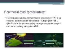 """У світловій фазі фотосинтезу : Поглинання світла молекулами хлорофілу """"А"""" ( з..."""