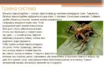 Травна система Більшість павукоподібних — хижаки, пристосовані до живлення на...