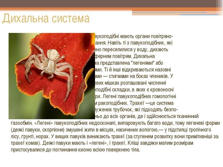 Усі павукоподібні мають органи повітряно- го дихання. Навіть ті з павукоподіб...