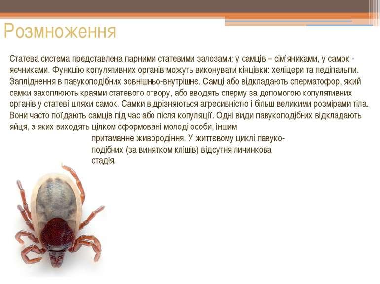 Розмноження Статева система представлена парними статевими залозами: у самців...