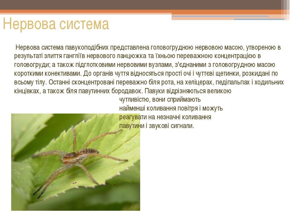 Нервова система Нервова система павукоподібних представлена головогрудною нер...