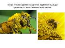 Когда пчела садится на цветок, крупинки пыльцы прилипают к волоскам на теле п...