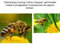 Прилипшую пыльцу пчёлы счищают щёточками ножек и укладывают в корзиночки на з...