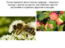 Пчелы приносят много пользы природе – перенося пыльцу с цветка на цветок, они...