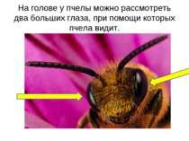 На голове у пчелы можно рассмотреть два больших глаза, при помощи которых пче...