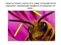 Также на голове у пчелы есть усики, которыми пчела ощупывает окружающие предм...