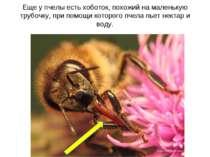 Еще у пчелы есть хоботок, похожий на маленькую трубочку, при помощи которого ...