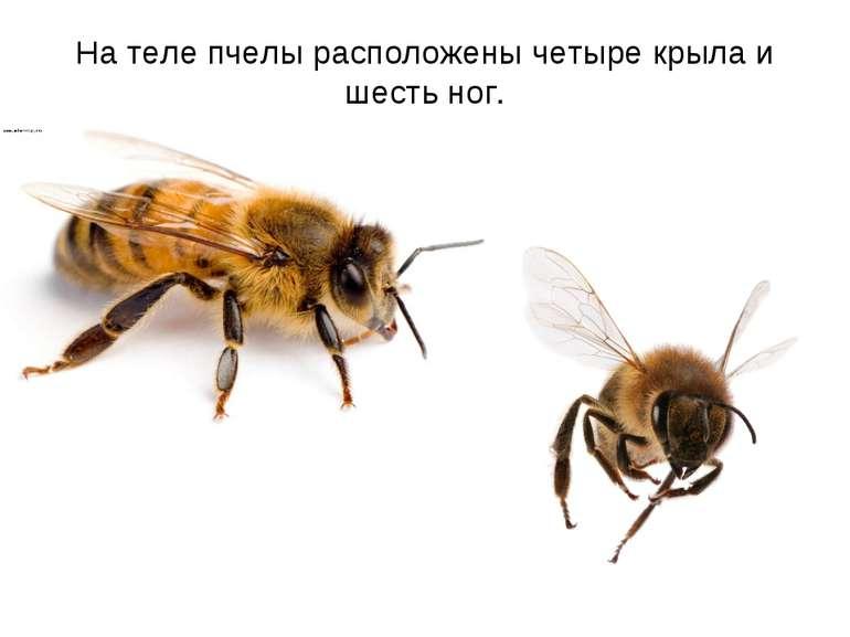 На теле пчелы расположены четыре крыла и шесть ног.