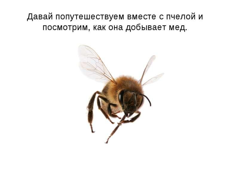 Давай попутешествуем вместе с пчелой и посмотрим, как она добывает мед.