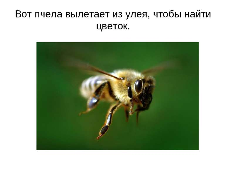 Вот пчела вылетает из улея, чтобы найти цветок.