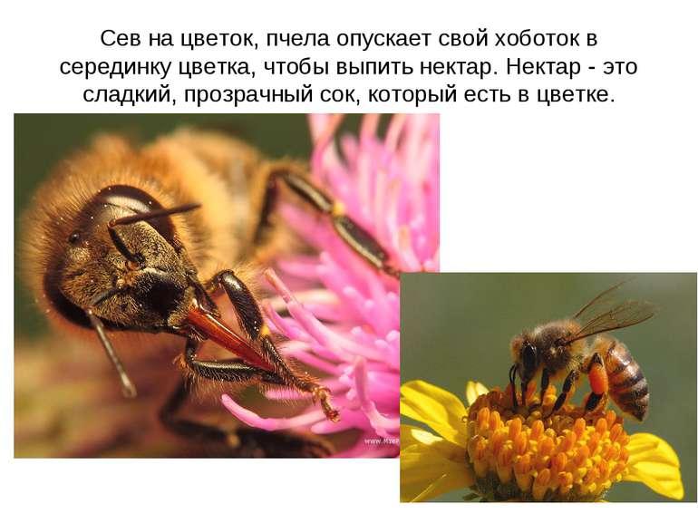 Сев на цветок, пчела опускает свой хоботок в серединку цветка, чтобы выпить н...