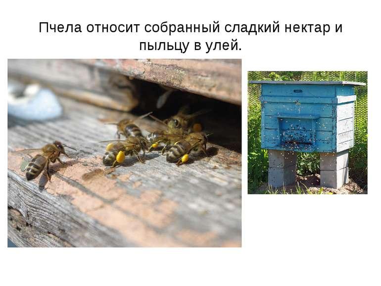Пчела относит собранный сладкий нектар и пыльцу в улей.