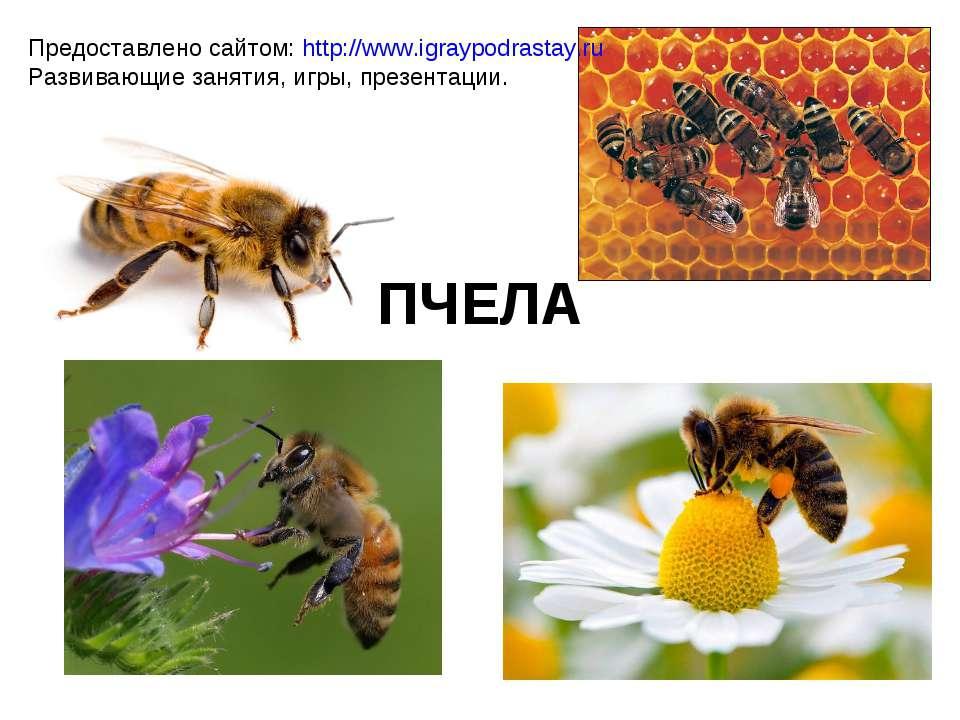 ПЧЕЛА Предоставлено сайтом: http://www.igraypodrastay.ru Развивающие занятия,...