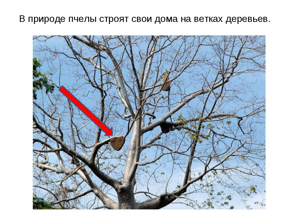 В природе пчелы строят свои дома на ветках деревьев.