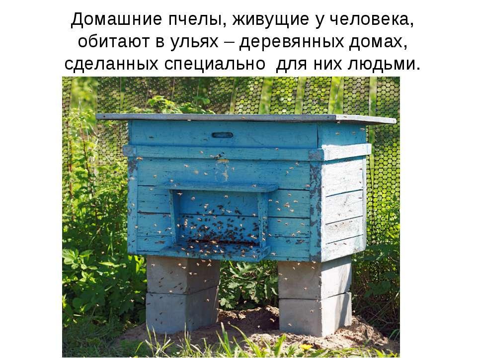 Домашние пчелы, живущие у человека, обитают в ульях – деревянных домах, сдела...