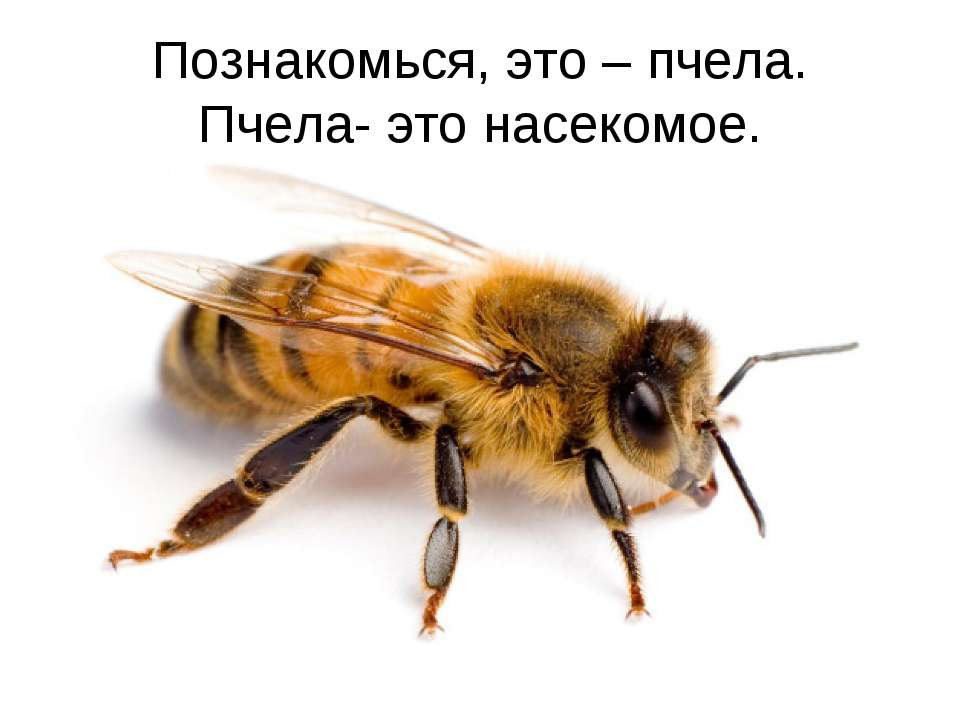 Познакомься, это – пчела. Пчела- это насекомое.