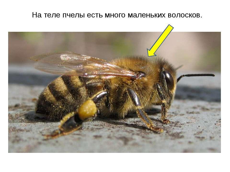 На теле пчелы есть много маленьких волосков.